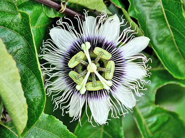 PASSION FLOWER NATIVE PLANTS TEXAS
