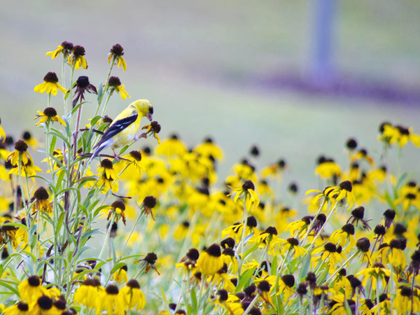TEXAS NATIVE PLANTS WILDFLOWERS DFW