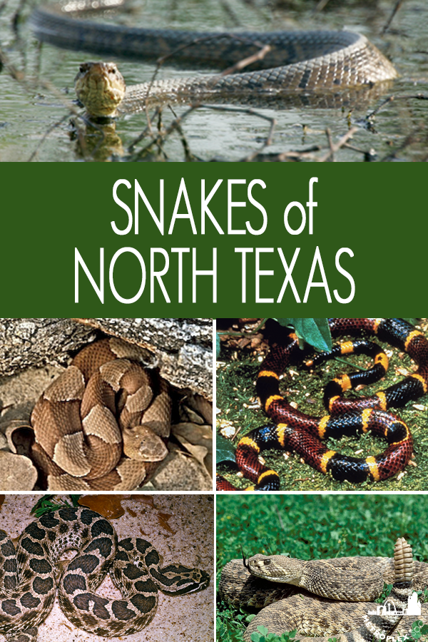 SNAKES OF NORTH TEXAS ID