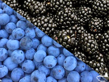 where to pick blueberries blackberries near dallas 2
