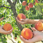This Is Where You Can Pick Your Own Fresh Peaches in Dallas Fort Worth