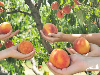 where to pick peaches dallas fort worth fi