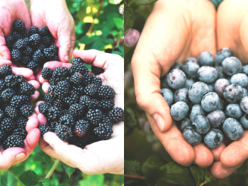 where-to-pick-your-own-blackberries-blueberries-near-dfw