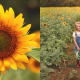 wild berry farms best sunflower berry picking sadler texas