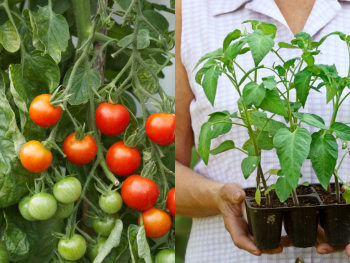 how-to-grow-tomatoes-best-home-garden
