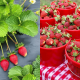 where-to-pick-strawberries-near-dallas-fort-worth